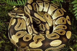 A Woman Was Swallowed Whole By A Python!