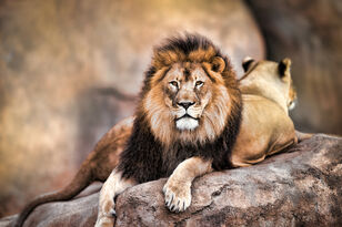 Lion Licks Tourists