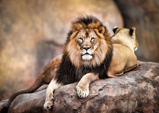 Lion GettyImages-549101021