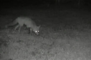 Man Discovers Foxes Were Stealing Newspapers And Dumping Them In His Yard