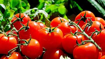 image for Phone Tap: Duncan and the Tomatoes