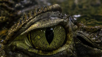 Bob and the Showgram - Show Caller Gets 1 of 20 Gator Hunting Permits in NC