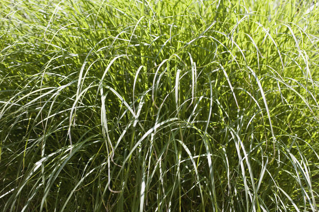 high grass Getty RF