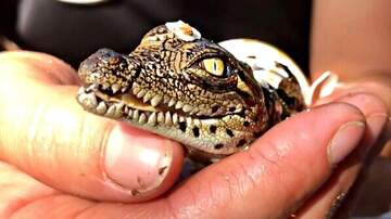 Monster - Nile Crocodiles Hatching