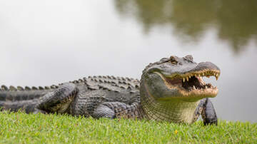 Laura Anderson - 80-year-old Florida Man Wrangles Massive Alligator In His Yard