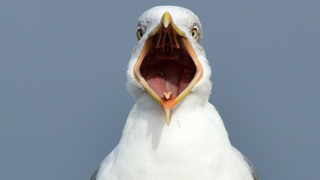 Seagull | GettyImages-451957961