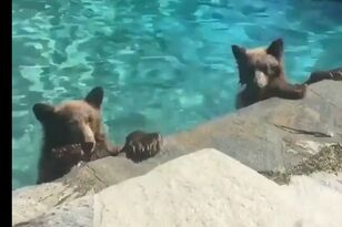 It's Warm Outside ... Warm Enough For Bears To Swim?