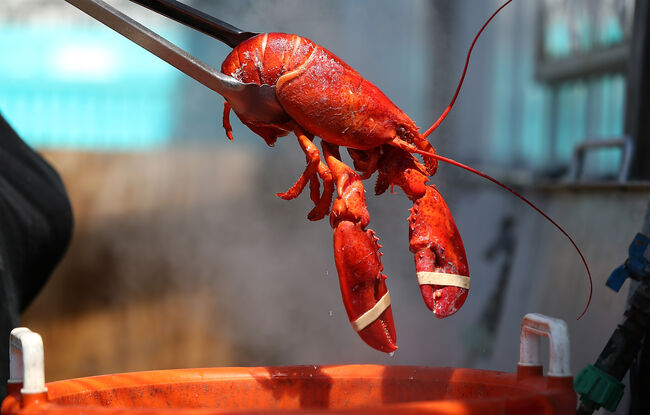 Maine lobsters to get high before being killed