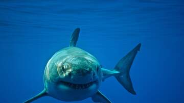 Kate - A Great White Is Making Itself At Home Along The Jersey Shore