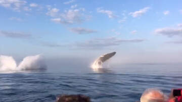 Frank Bell - Synchronized Whale Breaches