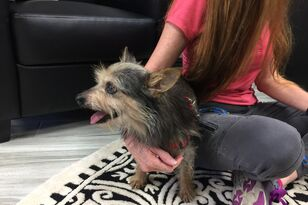 Meet our friend Steven Tyler! He is a 6 year old male Yorkie mix.