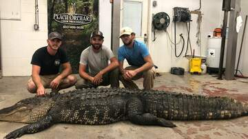 Around the Carolinas - 12 Foot Alligator Caught on Lake Marion in South Carolina