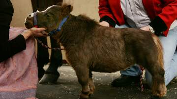 Weird, Odd and Bizarre News - Mini-Horses Now Welcome Aboard Alaska Airlines As Service Animals