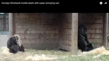 Jim Show - Mama Gorilla Is Annoyed With Her Son!