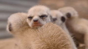 Lee Phillips - THINK PUPPIES ARE CUTE? CHECK OUT THESE BABY MEERKATS!