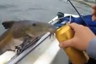 Fish Comes Out of Water to Drink Beer