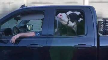 McKay and Donuts - (VIDEO) When The Cow Won't Ride In The Trailer...