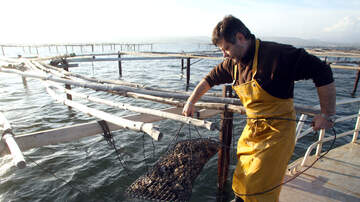 Memphis Morning News - NEW  YORK  OYSTERS  ARE TAKING CARE OF NEW YORKERS