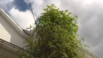 Steve - Their tomato plant is 22 feet tall!