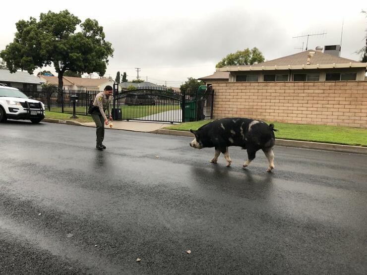 Police in San Bernardino use doritos to lure pig back home