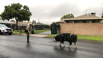 Weird News - Police Lure Runaway Pig Back Home Using Doritos
