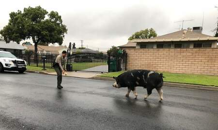 Weird, Odd and Bizarre News - Police Lure Runaway Pig Back Home Using Doritos