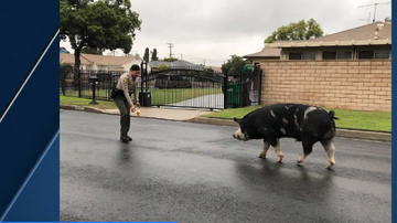 BC - Giant Lost Pig Lured Back Home With Doritos