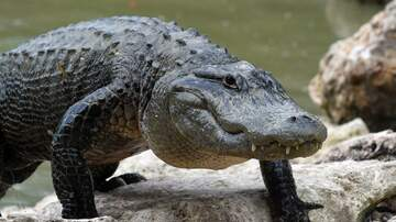 Battle - More Alligators Have Been Spotted In Tennessee