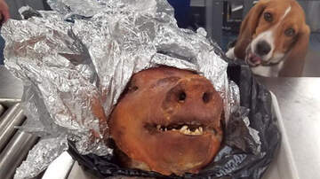 National News - Police Dog Finds Roasted Pig In Passenger's Luggage