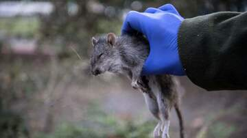 Local News - Vermin Scare Con-Ed Workers Away From NYCHA Building