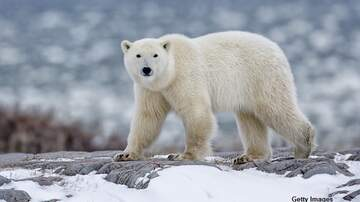 Coast to Coast AM with George Noory - Polar Bears Torment Russian Town