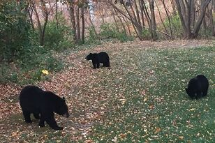 Bear Trap In Vernon To Catch + Euthanize Bear