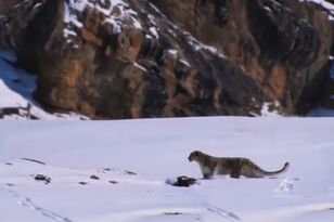 Snow Leopard Falls Off 400 ft Cliff Chasing Prey and SURVIVES