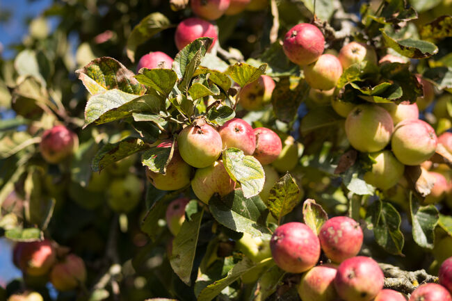 Cider Makers Enjoy A Bumper Harvest