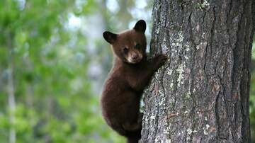Borasio - NJ D.E.P. Catches Cub Instead of Problem Bear !