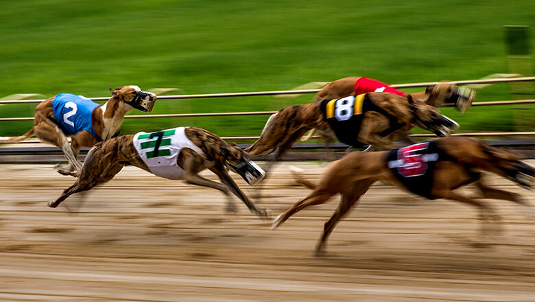 Greyhounds race by at the Sanford Orlando Kennel Club in Longwood, FL