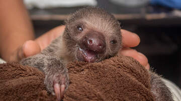 Mike and Mindy - Another Baby Born at the Brevard Zoo ... First Furry Sloth!