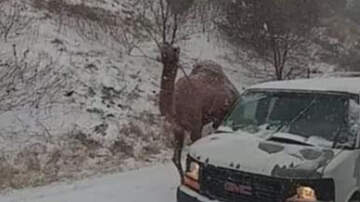 Weird News - Camel Spotted Walking On Pennsylvania Highway During Snowstorm