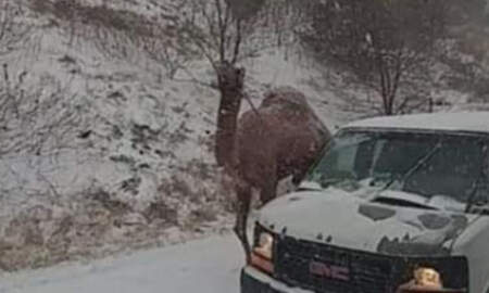 National News - Camel Spotted Walking On Pennsylvania Highway During Snowstorm