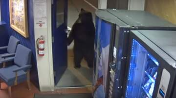 Billy the Kidd - Bear Saunters Into A Police Facility On 2 Legs Like He Works There