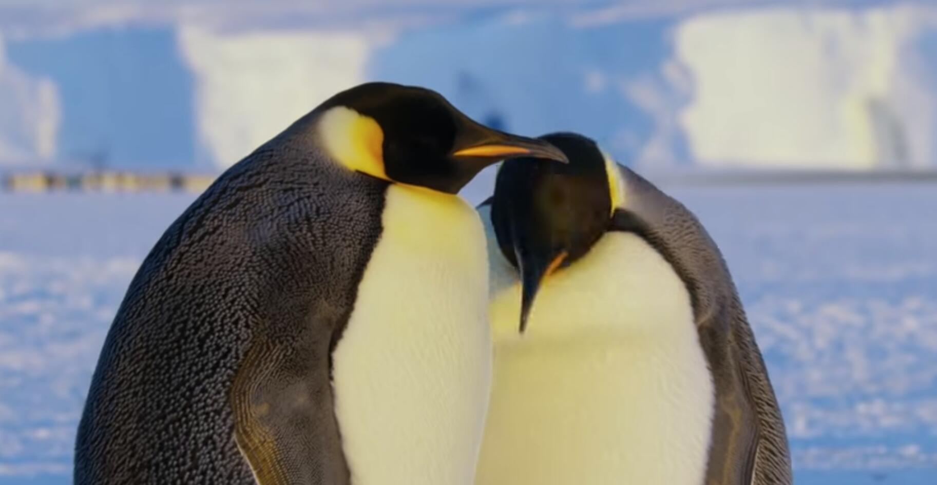BBC 'Dynasties' Crew Break Interference Rule By Saving Penguins and Lion
