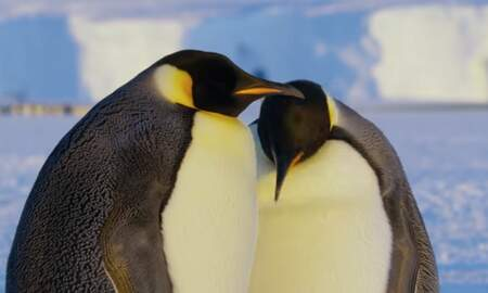 Uplifting - BBC 'Dynasties' Crew Break Interference Rule By Saving Penguins and Lion