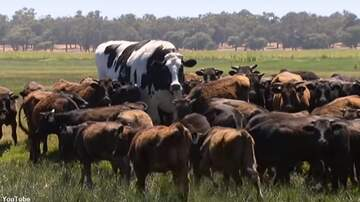 Coast to Coast AM with George Noory - Enormous Cow Becomes Giant Star