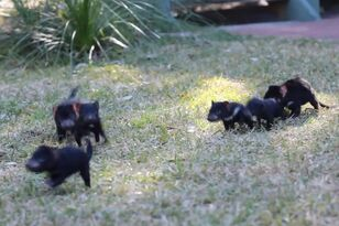 Playing with Baby Tasmanian Devils