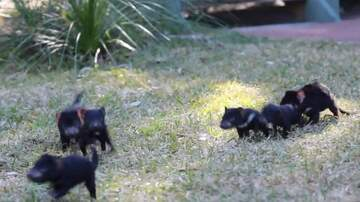 Jake Dill - Playing with Baby Tasmanian Devils