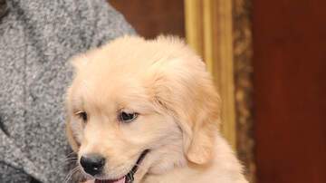 Temple - Elder Golden Retriever Gets A Puppy For Christmas