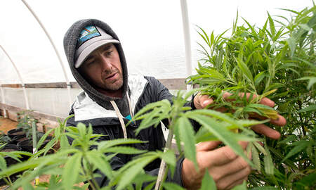 Sports Top Stories - University Of Connecticut Offering Course On The Marijuana Industry