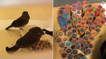 BC - Feds Bust Man Trying To Smuggle Live Finches In Hair Rollers