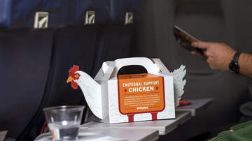National News - 'Emotional Support Chicken' Now Available To Help Ease Holiday Stress