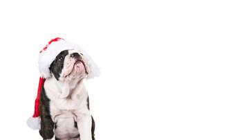 Jeff Collins - Bulldog Hates  Christmas